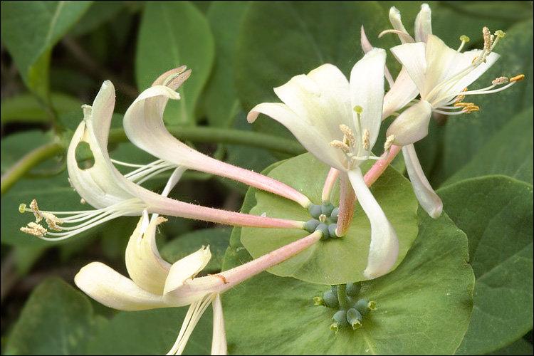 Saldā Mīla (lonicera caprifolium)