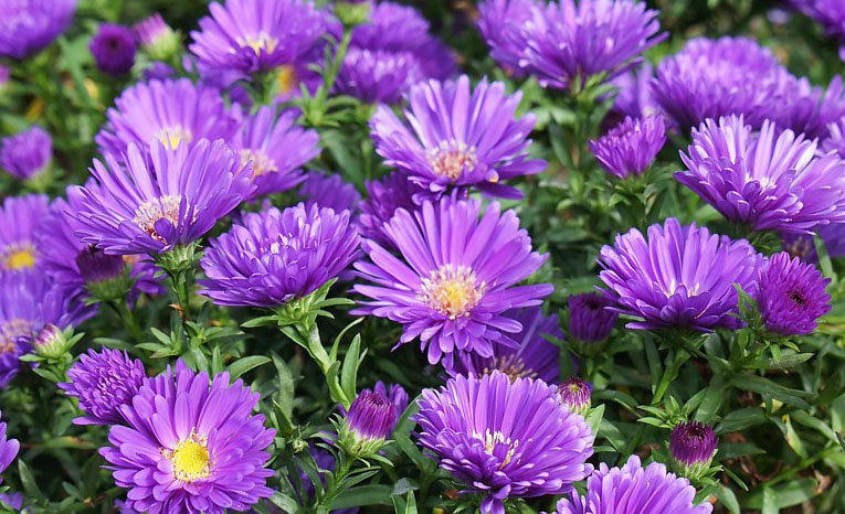 Magic Purple, aster novi-belgii