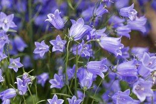 Bavaria Blue (`Blue Baby`)karošlapu (campanula cochleariifolia)