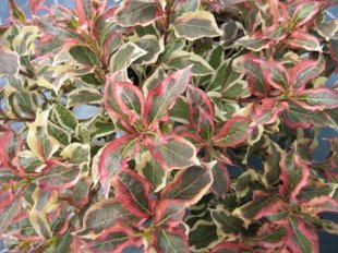 `Monet` (Verweig) (weigela florida)