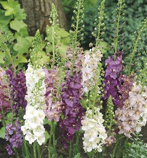 Deviņvīru spēks, purpursarkanais (verbascum phoenicum) mix