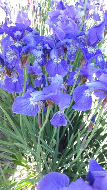 Iris.sib. zils, bez nosaukuma