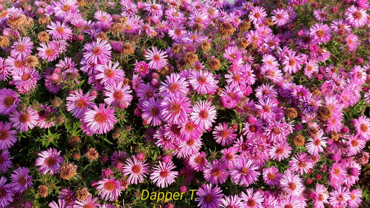 Dapper Topper aster novae-angliae , jaunanglijas ziemasteres