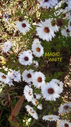 Magic White, aster novi-belgii