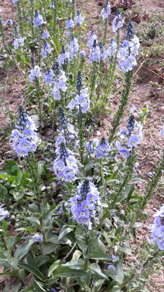 Little Blues  veronica gentianoides (genciānveida v.)