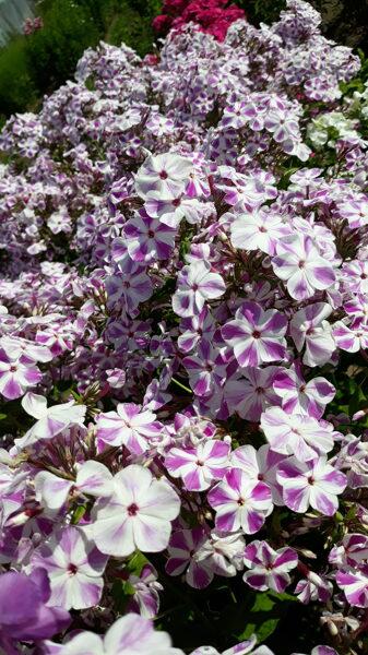Adessa Lilac Twist`