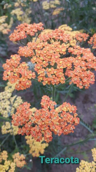 Terracotta parastais p. (achillea millefolium)