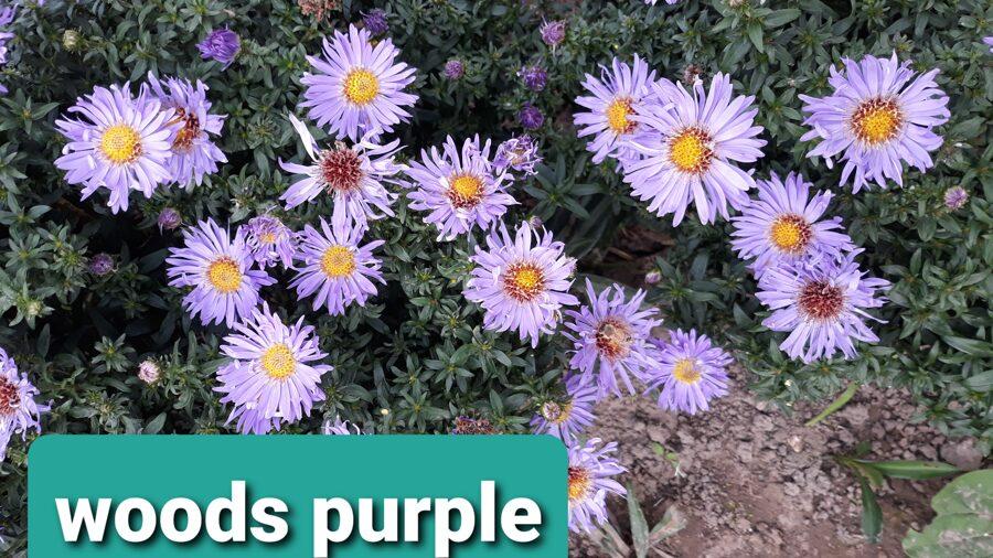 Wood`s Purple, novae angliae - Jaunanglijas.z.
