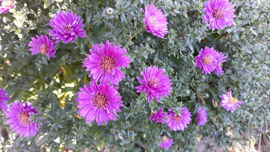Patricia Ballard, aster novi-belgii (Symphyotrichum novi-belgii 'Patricia Ballard')