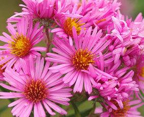 Harrington`s Pink aster novae angliae