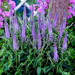 `Lilac Fantasy` Veronica longifolia (garlapu veronika) Harmony series