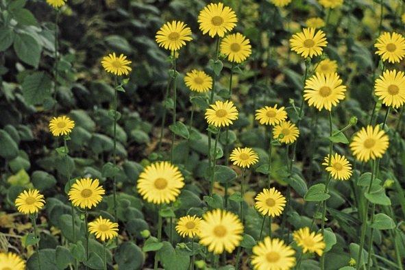 Doronīka zemā  (doronicum plantagineum)