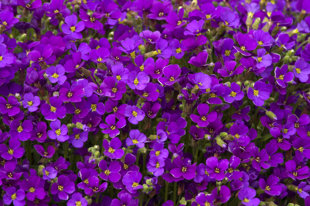 `Cascade Purple` (Aubrietia x cultorum)