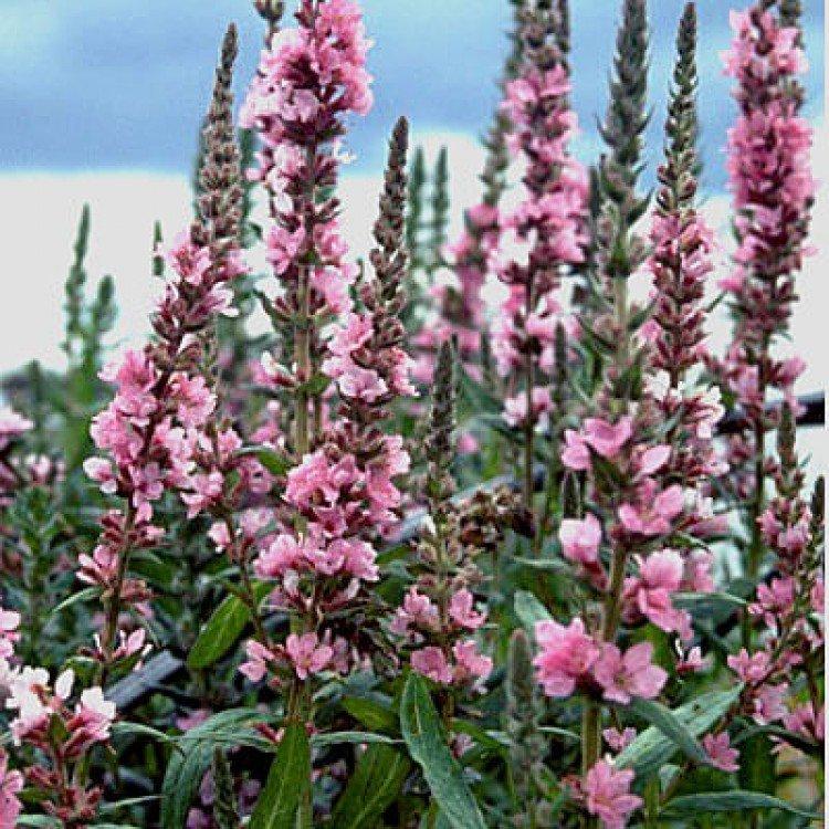 `Blush` vējmietiņš, vītolu (lythrum salicaria)