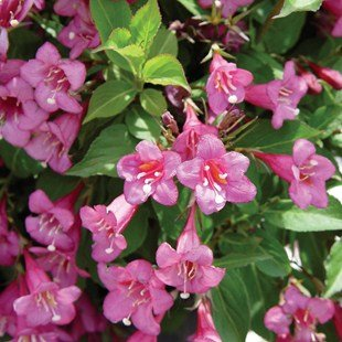 Rumba`(weigela florida)