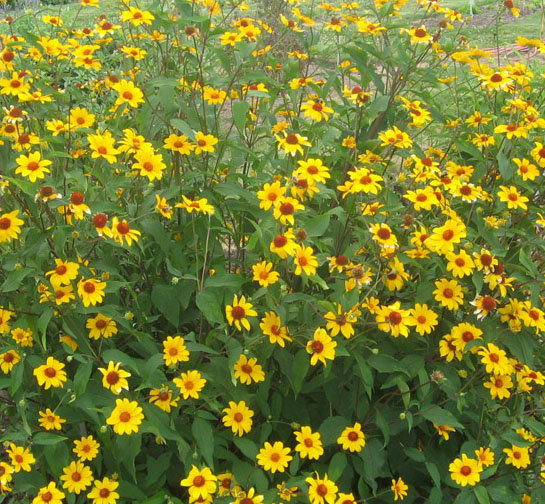 `Summer Nights`(heliopsis helianthoides var. scrabra)