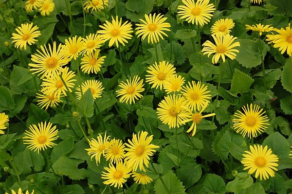 `Little Leo` - (doronicum orientale)