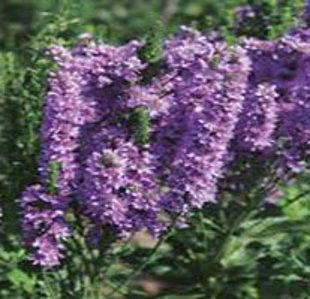 `Abundance` Veronica spicata x longifolia hybrida (vārpu v. x garlapu v.)