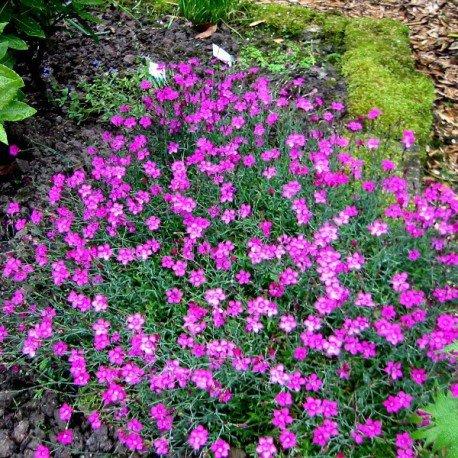 Dzirkstelīte  (Dianthus deltoides L.)
