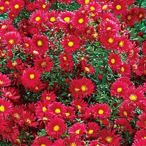 Crimson Brocade, aster novi-belgii