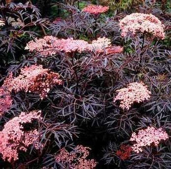 `Black Lace` - Melnais plūškoks. Sambucus nigra, (sambucus nigra)