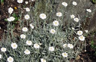 achillea  ageratifolia (serbica) , serbijas pelašķis