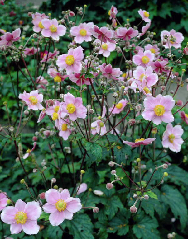 `Robustissima` (anemone vitifolia var. tomentosa)