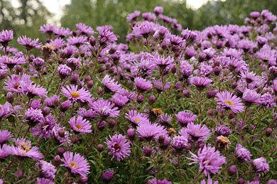 Lye End Beauty  aster novae angliae