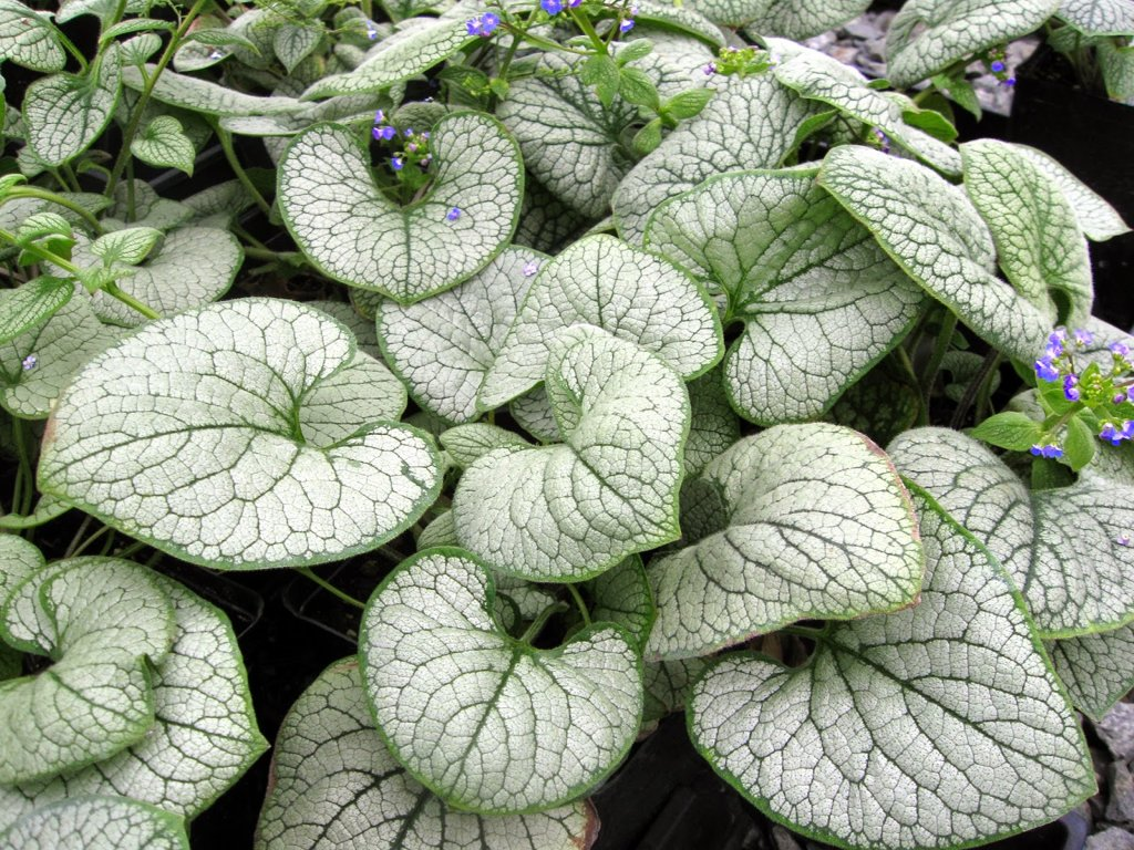 `Silver Heart` (brunnera macrophylla)