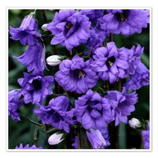 Bernice - strēļu (campanula trachelium) ` `