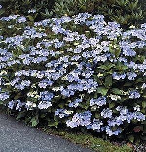 `Blue Bird` (A3) H.serrata,robainā h
