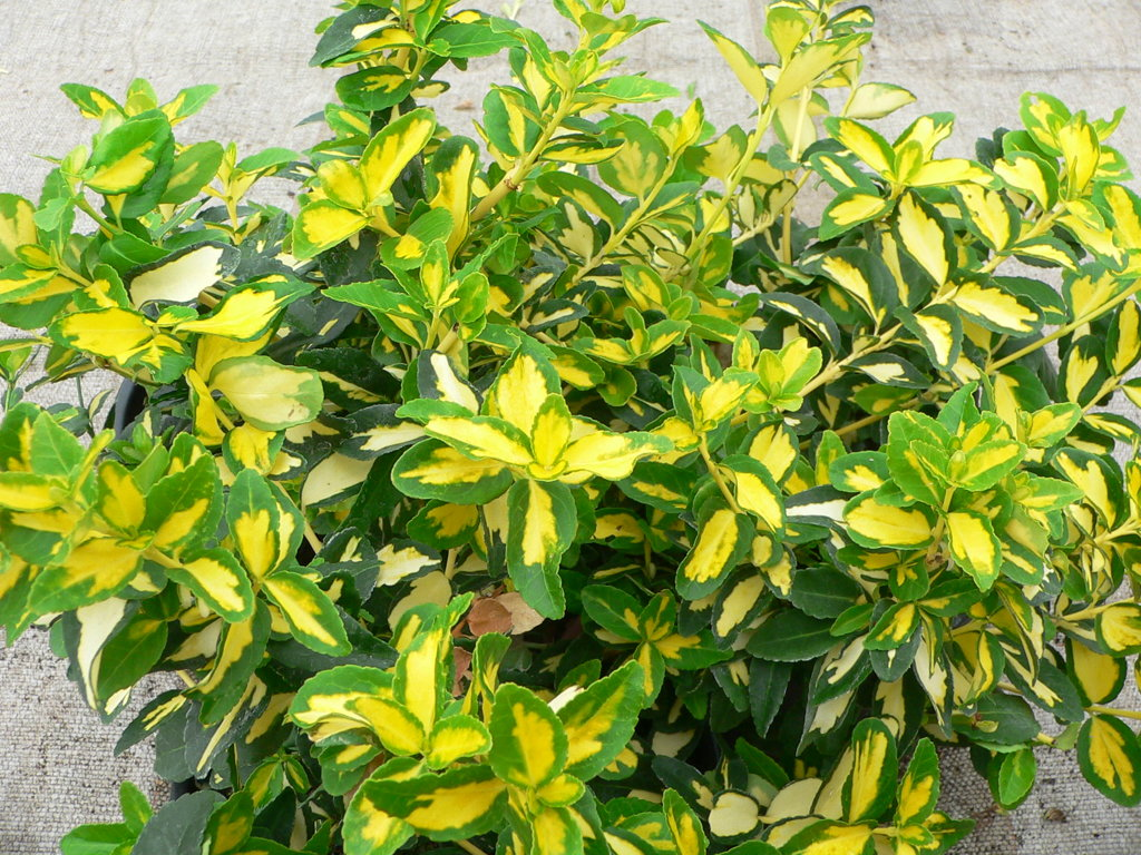 `Sunspot` ( euonymus fortunei)