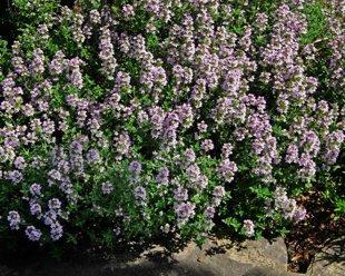 Timiāns,  ārstnieciskais mārsils,  (Thymus vulgaris)