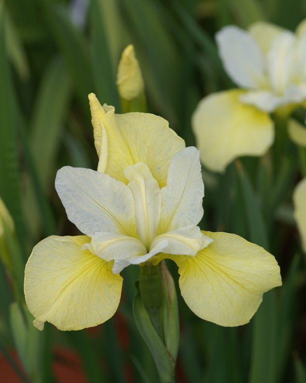 Butter and Sugar` Iris sibir