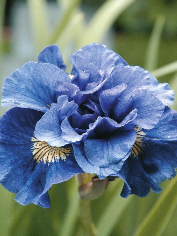 Concord Cruch`  Iris sibir