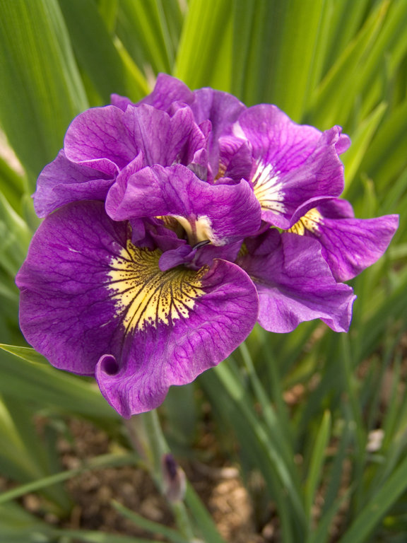 Double Standard   Iris sibirica