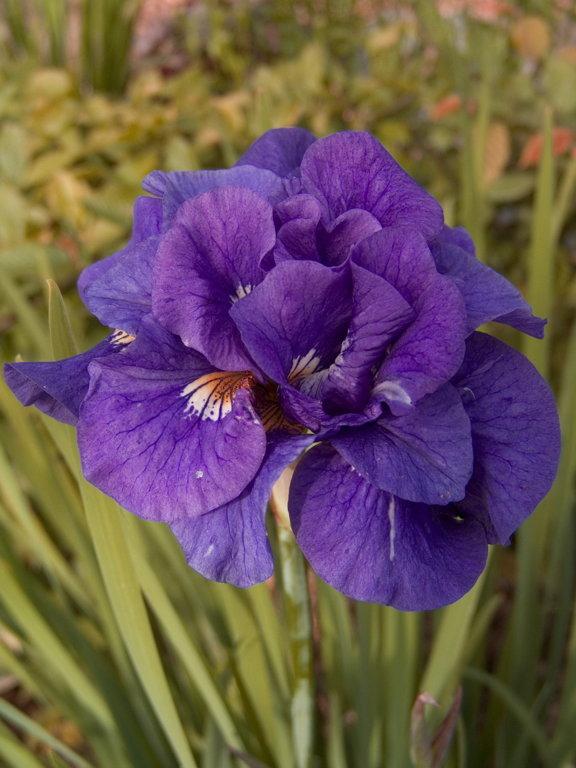 Kabluey  Iris sibirica