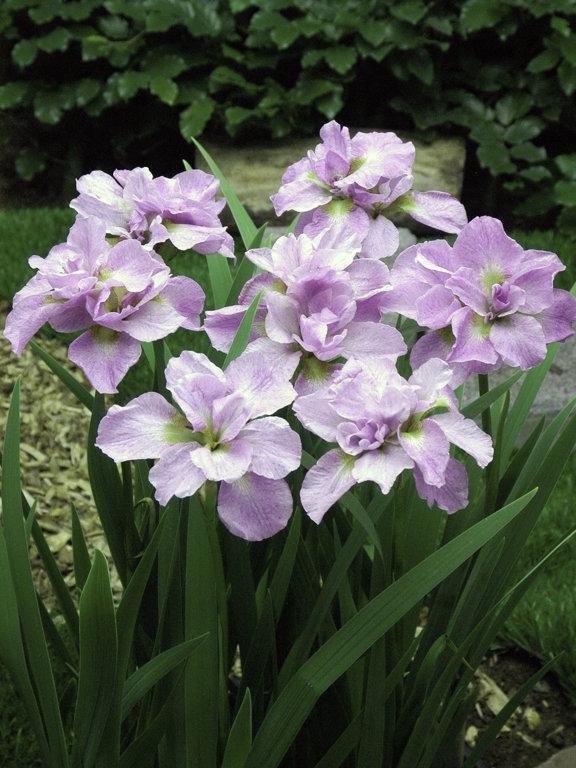 Kita-No-Seiza     Iris sibirica