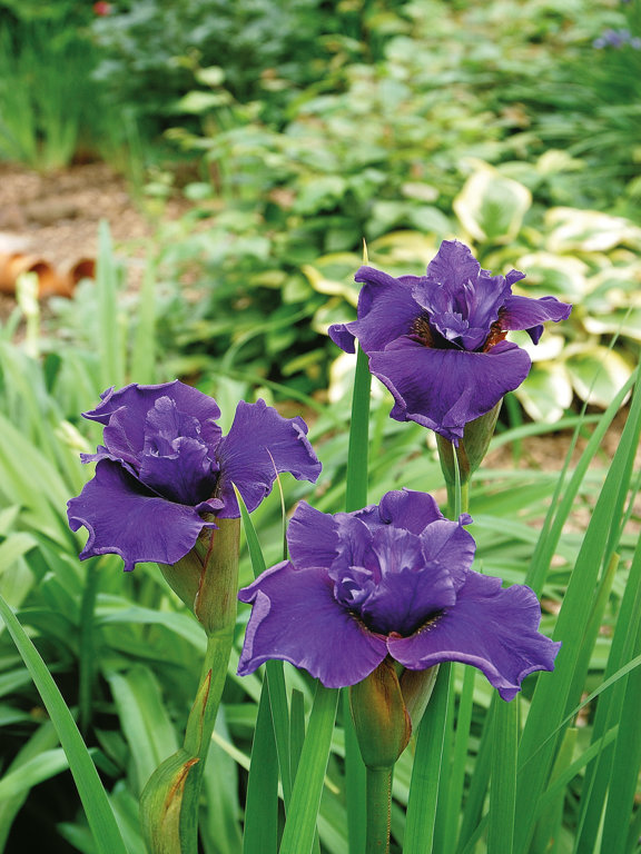 Ruffled Plus  Iris sibirica