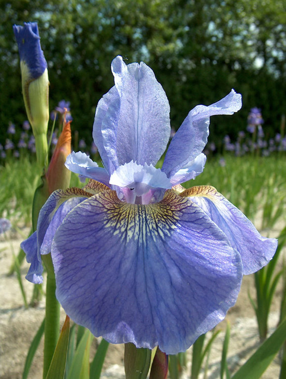 Welcome Return   Iris sibirica