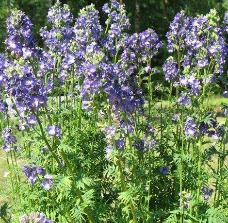 Kāpnīte, zilā (polemonium caeruleum)