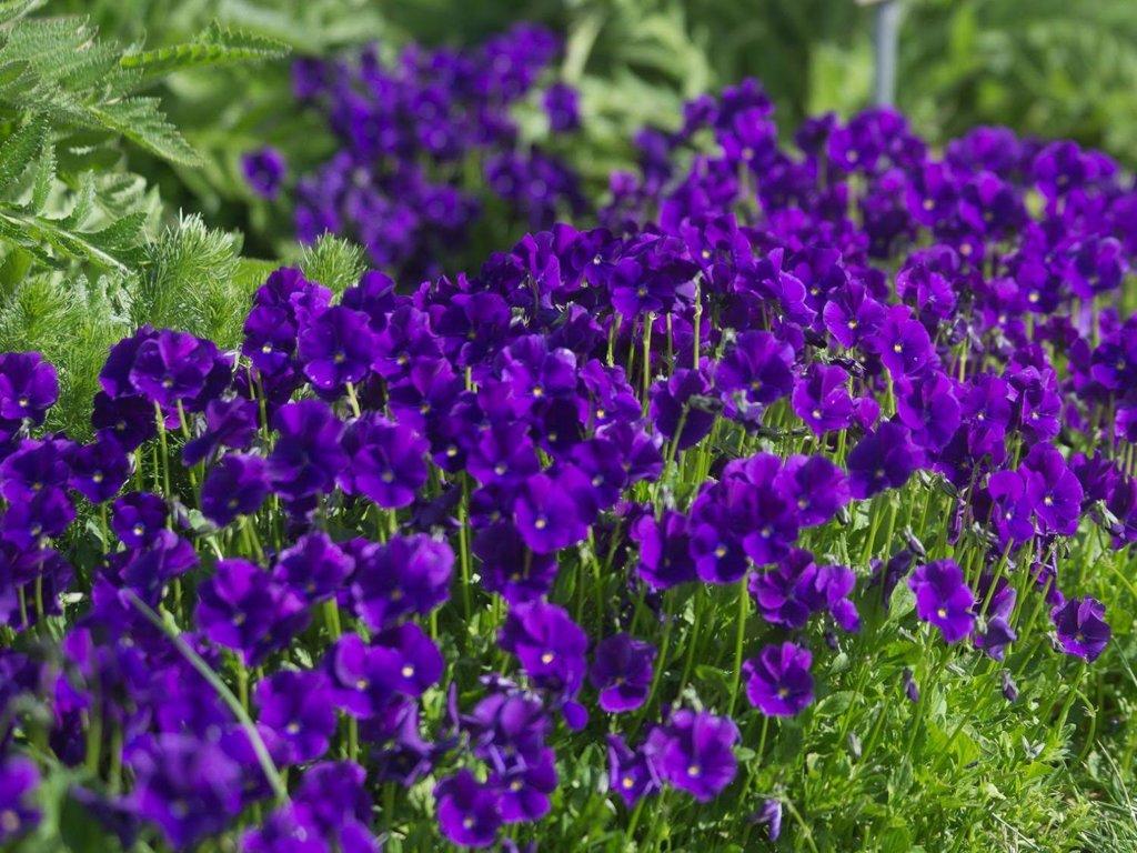 Vijolīte ragainā , (viola cornuta )