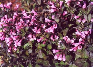 `Purpurea`(weigela florida)