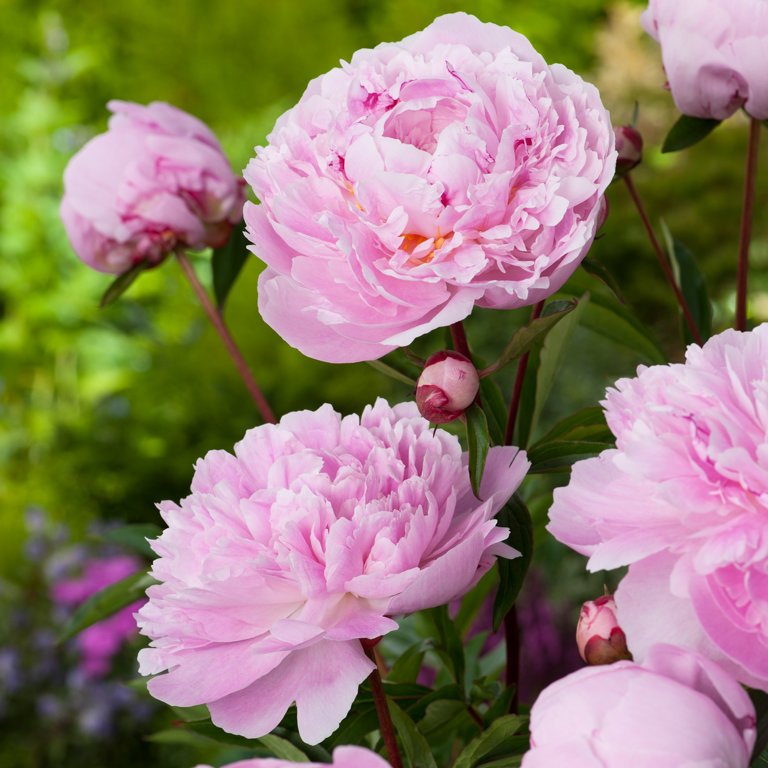 `Sarah Bernhardt`  (paeonia lactiflora)