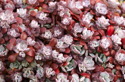 `Purpureum` sedum spathulifolium,platlapu laimiņš
