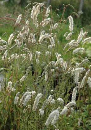 (sanguisorba tenuifolia)smalklapu b. - `White Tanna`