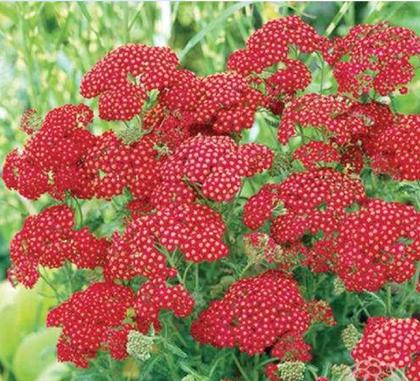 Red Velvet - parastais p. (achillea millefolium)