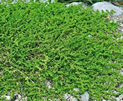 Kailā trūkumzālīte (herniaria glabra L.)