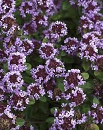 Mārsils, ārstnieciskais, timiāns (Thymus vulgaris)