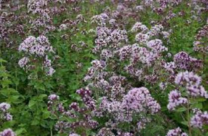 Raudene     parastā(origanum vulgare)